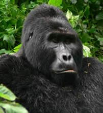 Uganda(gorilla)
